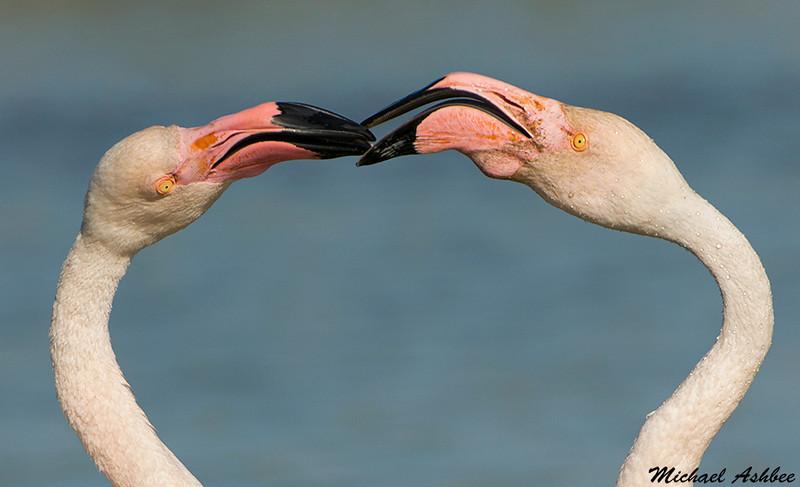 Greater Flamingos,St.Marie de la mar,France