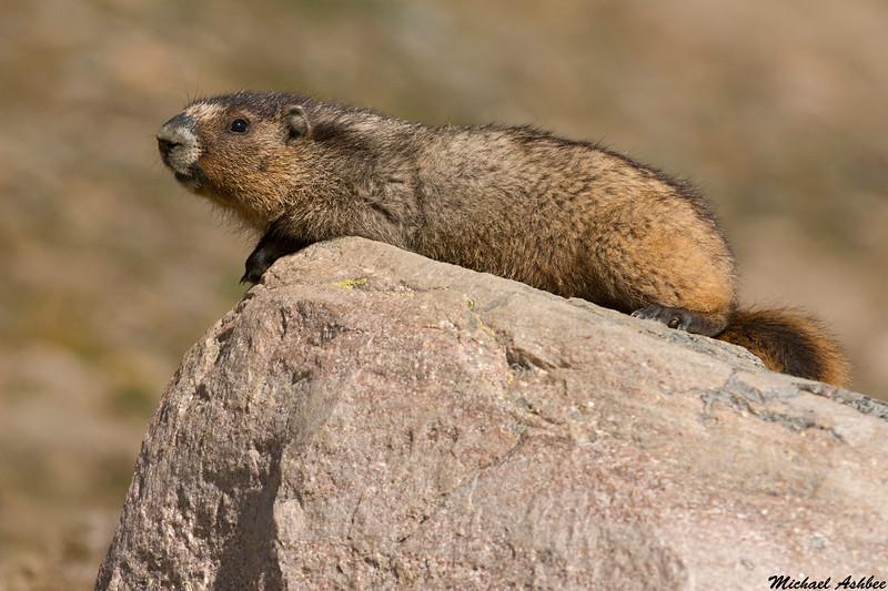 Hoary Marmot,Jasper,Alberta