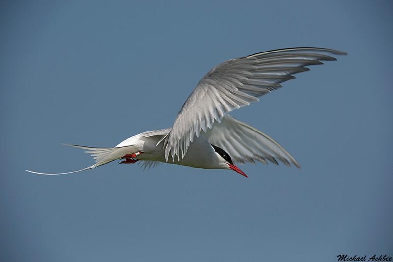 Arctic Tern,Farne island,England