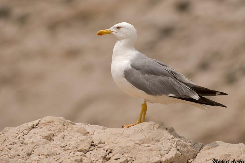 Yellow legged gull,Frioul Islands,France