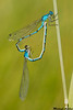 Bluet species,Tunkwa lake,B.C.