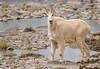 Mountain Goat,Jasper,Alberta