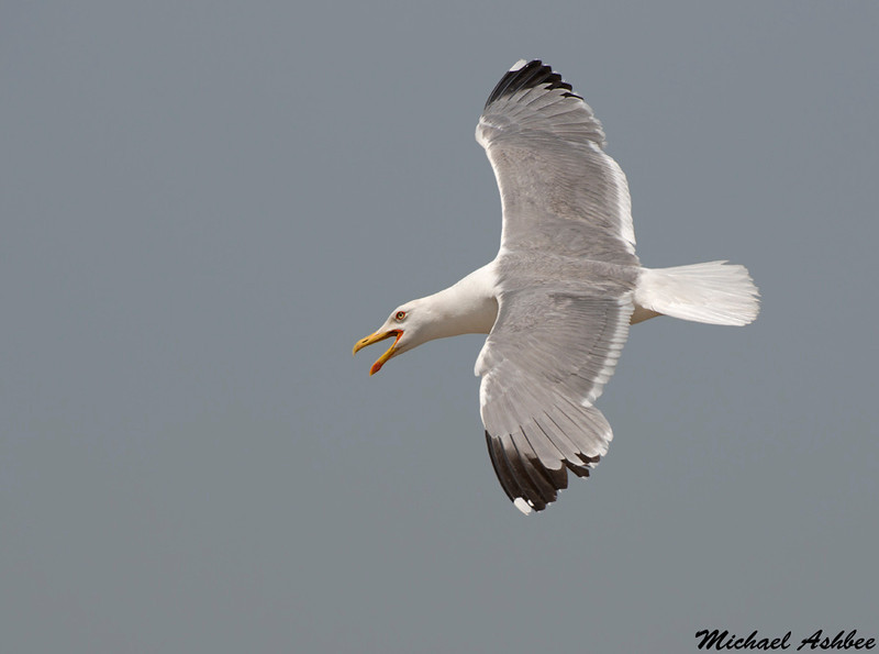 Yellow legged gull,Frioul Islands,France