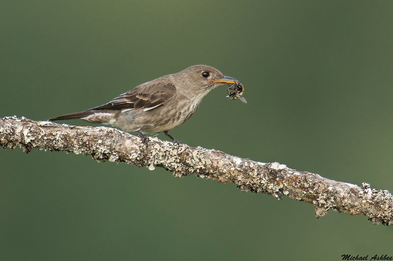 Olive sided Flycatcher,Victoria,B.C.