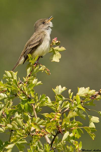 Willow flycatcher,Victoria,B.C.