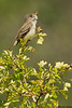 Willow flycatcher,Victoria,B.C.