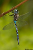 California Darner,Chilliwack,B.C.