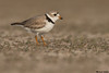 Piping Plover,East of Edmonton,Alberta