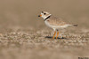 Piping Plover,Edmonton area,Alberta