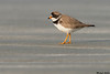 Semipalmated Plover,Sandspit,B.C.