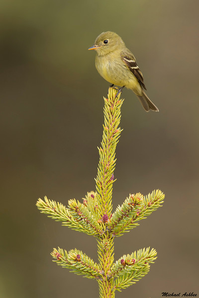 Yellow bellied Flycatcher,Cold lake,Alberta