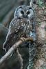 Boreal Owl,Edmonton,Alberta