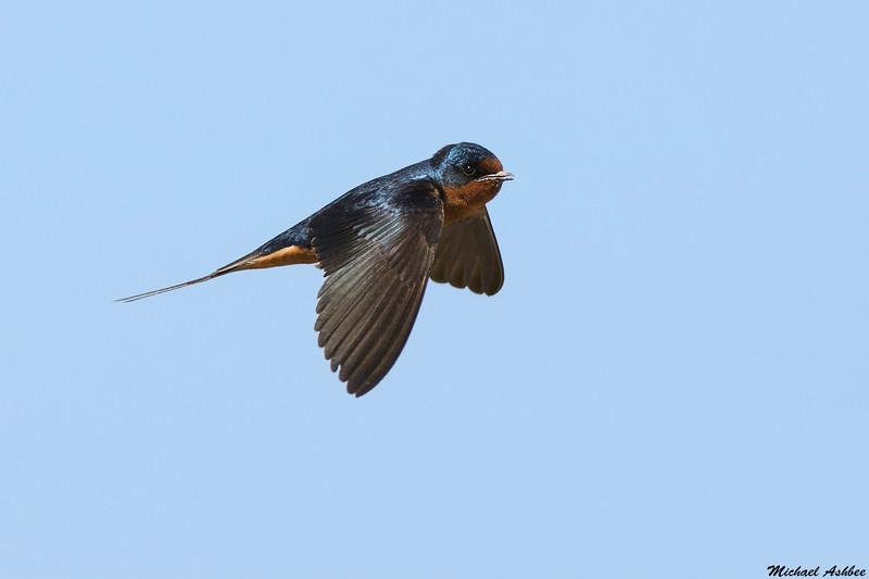 Barn Swallow,Moses lake,Washington