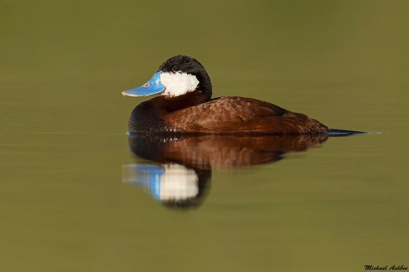 Ruddy Duck,Merrit,B.C.