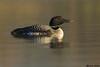 Common Loon,Merrit,B.C.