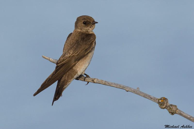 Northern Rough-winged Swallow,Moses lake,Washington