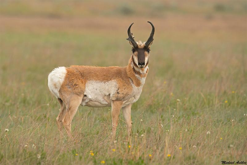 Pronghorn Antelope,Brooks,AB