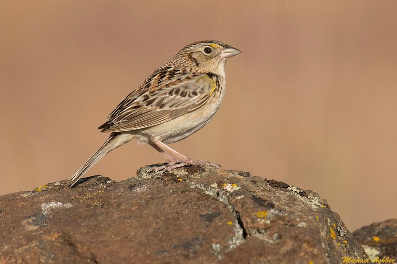 Grasshopper Sparrow,Moses Lake,Washington