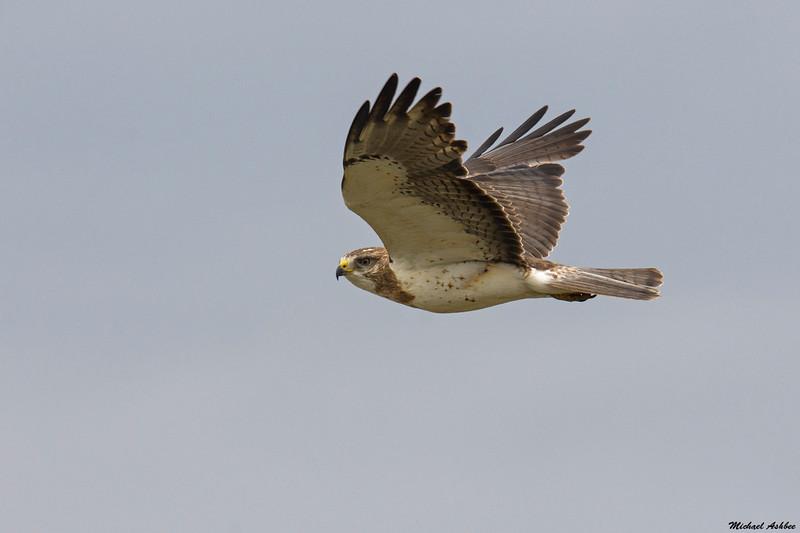 Swainson's Hawk,Brooks,AB