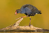 Australasian Swamphen (Pukeko)
