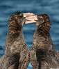 Northern Giant Petrels