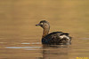 New Zealand Grebe (Dabchick)
