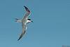 White-fronted Tern (juvenile)