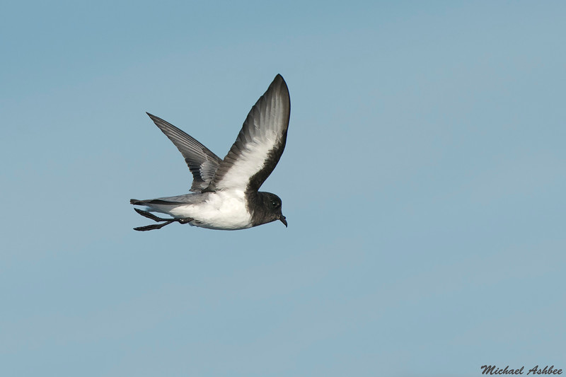 Gray-backed Storm Petrel