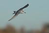 Black-fronted Tern (juvenile)
