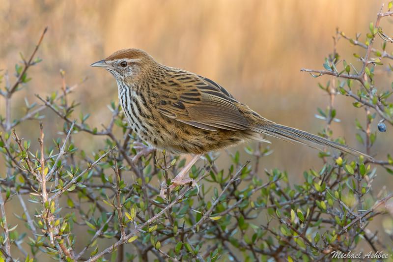 South Island Fernbird