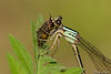 Powdered Dancer (Female) with prey