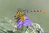 Flag-tailed Spinyleg (Female)