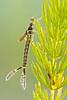 Enallagma species nymph
