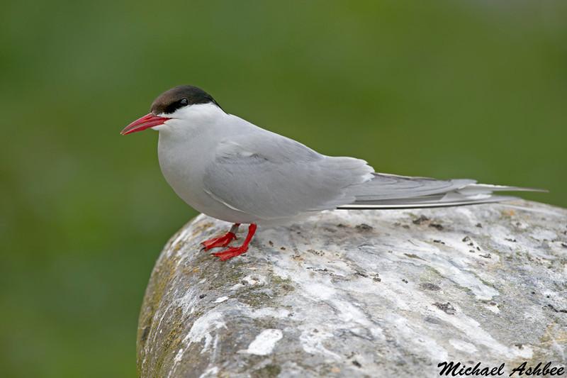Arctic Tern,Inner Farne Island,England
