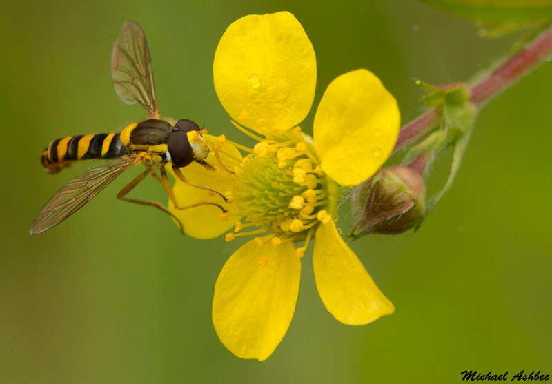 Syrphid Fly,Victoria,British Columbia