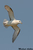 Northern Fulmar,Farne islands,England