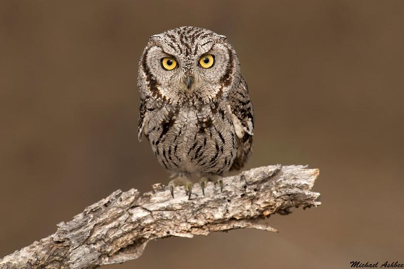 Western Screech Owl,Madera Canyon,Arizona