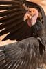 California Condor,Grand Canyon National Park,Arizona