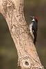 Acorn Woodpecker,Madera Canyon,Arizona