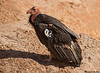 California Condor,Grand Canyon National Park,Arizona