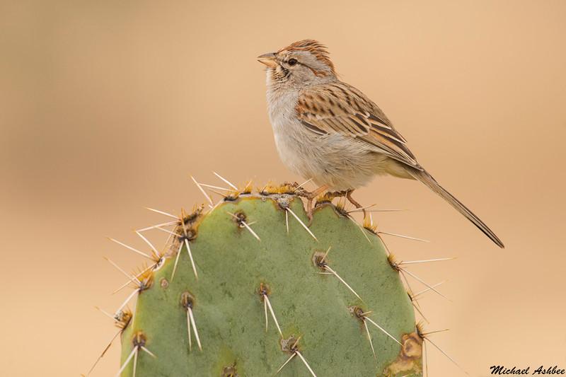 Rufous winged sparrow,Madera Canyon,Arizona