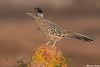 Greater Roadrunner,Green Valley,Arizona