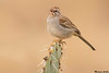 Rufous winged sparrow,Madera Canyon,Arizona