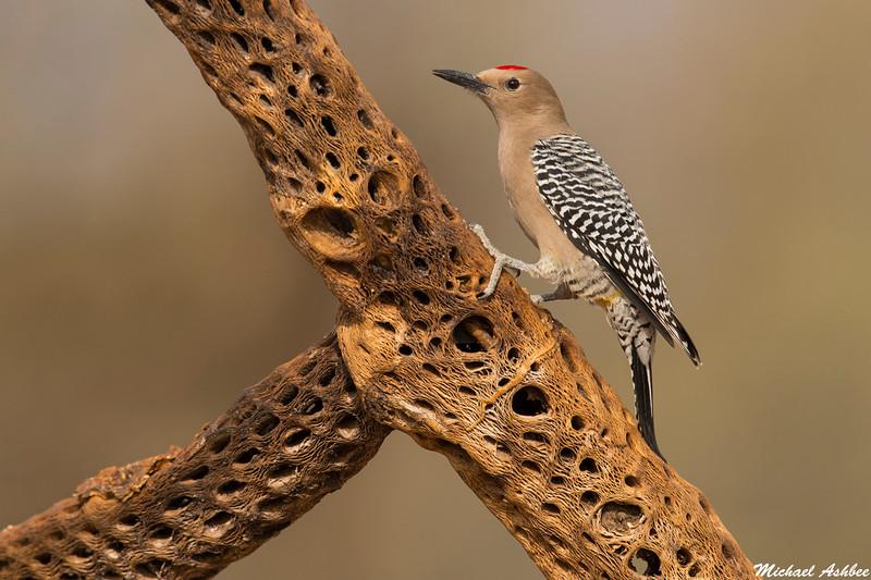 Gila Woodpecker,Green Valley,Arizona