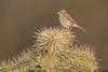 Brewer's Sparrow,Green Valley,Arizona