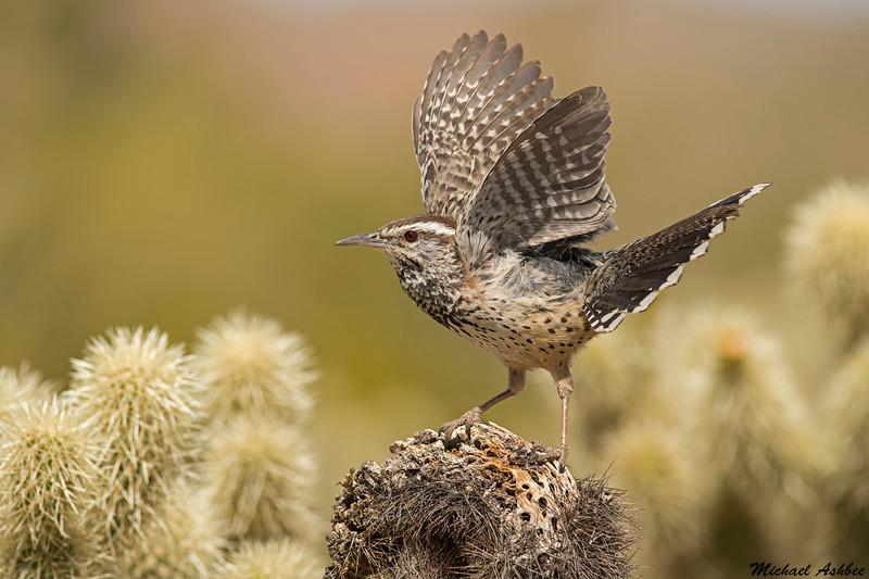 Cactus Wren,Sonoran Desert,Arizona