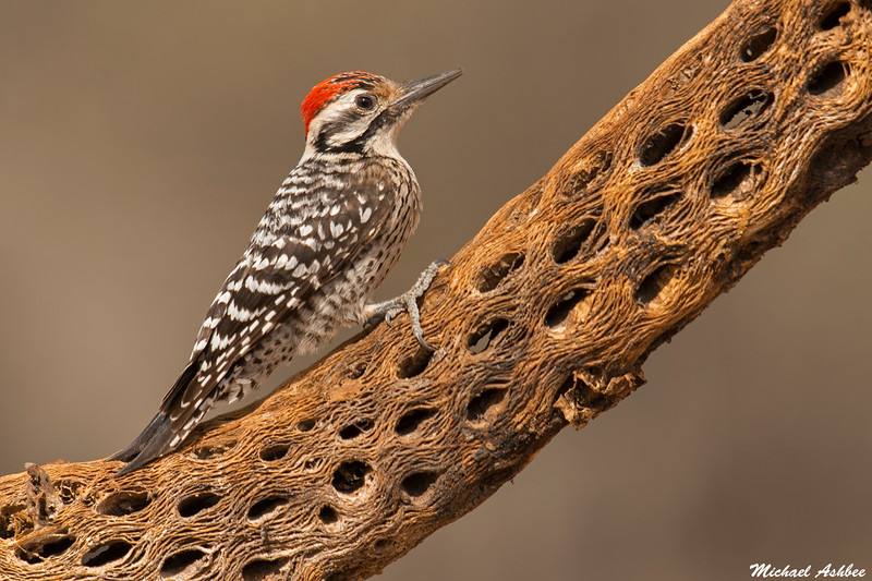 Ladder-backed Woodpecker,Green Valley,Arizona