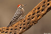 Ladder-backed Woodpecker,Green Valley,Arizona