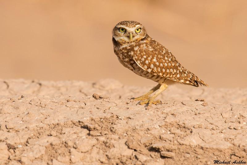 Burrowing Owl,Salton Sea,California