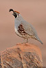 Gambel's Quail,Green Valley,Arizona